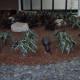 Atrium Bed Alocasia