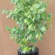 Variegated Ficus Benjamina